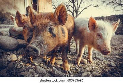 Three pigs in the barnyard