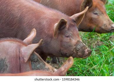 three pigs in dirt farm animals pork agriculture