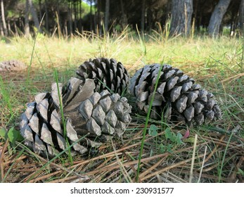 Three pine cones in a forest