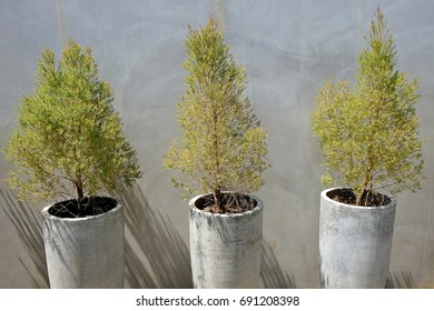 Three pine trees in concrete pots with concrete wall in sunny day.