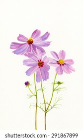Three Pink Cosmos Blossoms.  Hand painted watercolor illustration of pink cosmos flowers with a white background.