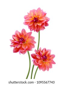 Three pink dahlia  flowers isolated on white background