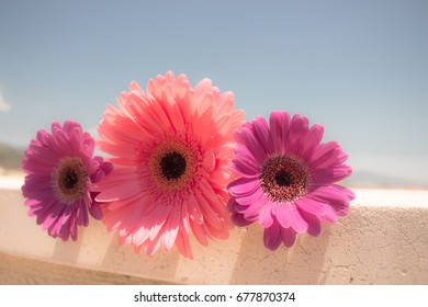 Three pink gerbera daisy flowers. The image is isolated. White background.