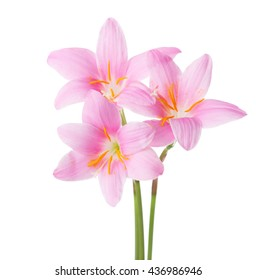 Three pink lilies isolated on a white background. Rosy Rain lily