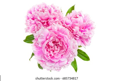 Three pink peony isolated on white background