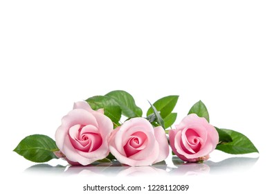 three pink rose lying on white background