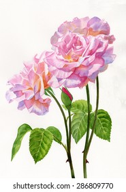 Three Pink Roses with Leaves and Stems.  Watercolor painting, illustration, style of three pink rose blossoms with a bud and stems on a white background.