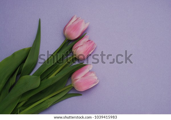 Three Pink Tulips bouquet, over Purple Background with copy space. Top view. flat Lay. Spring time.