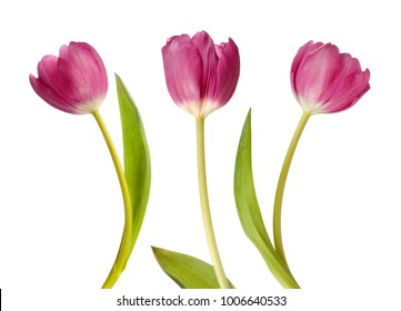 Three pink tulips isolated on white background
