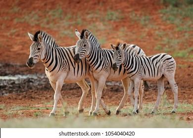 Three plains zebras (Equus burchelli) in natural habitat, South Africa