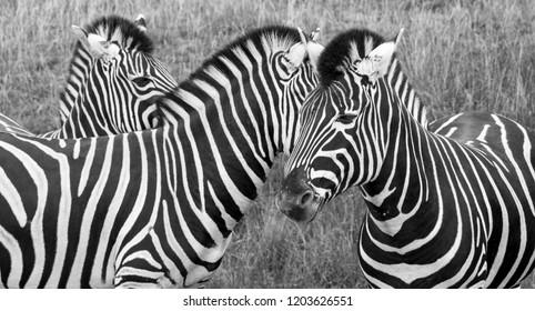 Three plains zebras in the grass at Port Lympne Safari Park, Ashford, Kent UK.  Photographed in monochrome.