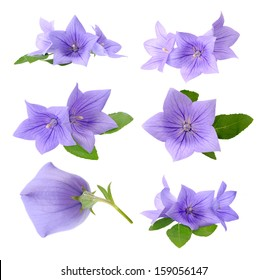 Three Platycodon grandiflorus flowers isolated on white background