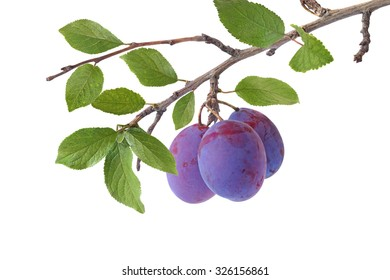 Three plums on the branch isolated on a white background