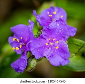 Three Plurple Flowers