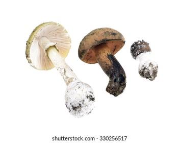 Three poisonous mushrooms -Amanita Pantherina,Amanita phalloides, isolated on white background