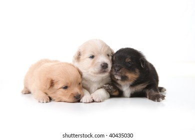 Three Pomeranian Newborn Puppies on White in a Line