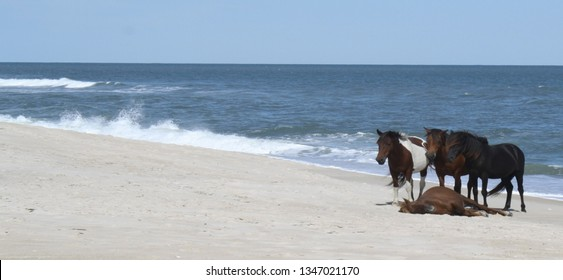 three ponies standing over a resting pony on Assateaque Island