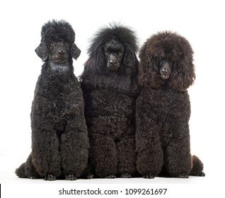 Three poodle dogs sit in the studio isolated on a white background looking at the camera.