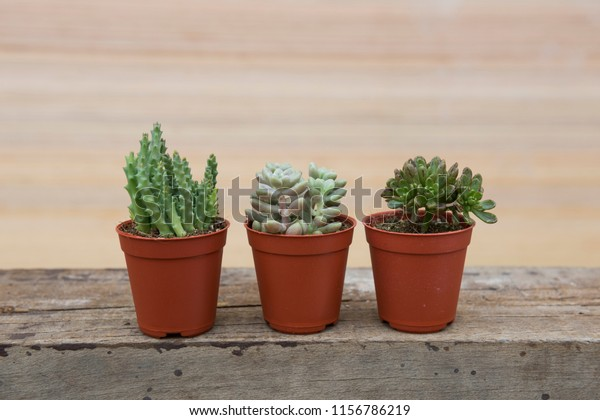 Super Three Pots Different Variety Succulent Plants Stock Photo Caraccident5 Cool Chair Designs And Ideas Caraccident5Info