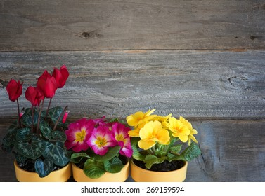 Three Pots of Spring Flowers, primroses and cyclamen, in lower corner against rustic wood board wall background with room or space for copy, text, your words. Horizontal above view, looking down.