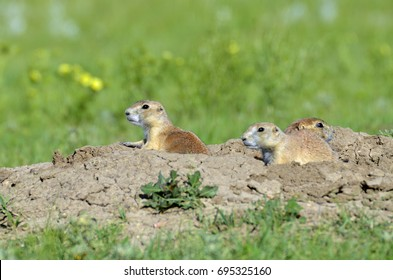 Three prairie dogs peering out of the safety of a hole surrounded by dirt and grass.