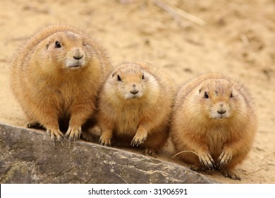 Three prairie dogs sitting next to each other