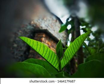 Psidium Images, Stock Photos & Vectors | Shutterstock
