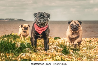Three pug dogs running towards the camera away from the sea on a pebble beach. One I sent black at the front wearing a bandera round his neck. The other two are fawn.