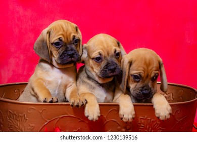Three Puggle Puppies Sit in a Basket in front of a Red Christmas Background