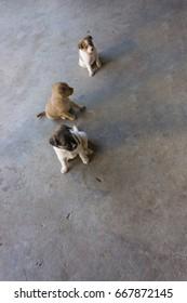 Three puppies dog
