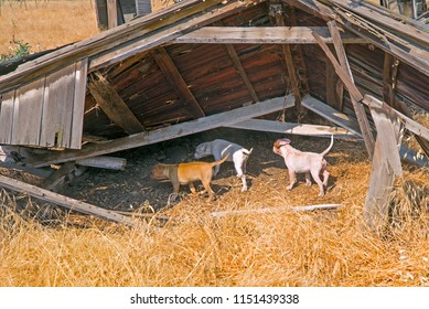 Three puppies explore a wrecked barn in a small mountain town in the Sierra Nevada Range, California.