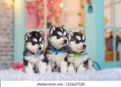 Three puppies of husky. Small dogs. Siberian husky on white plaid