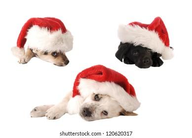 Three puppies in Santa Hats on White, Christmas theme.