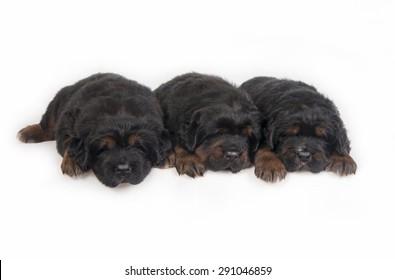three Puppies Tibetan Mastiff