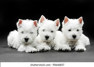 three puppies West HighlWest Highland White Terrier on black background