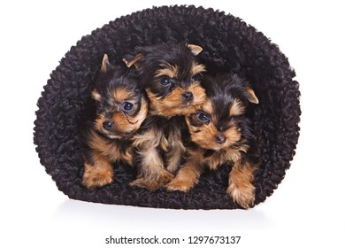 Three puppies of the Yorkshire Terrier in hat (isolated on white)