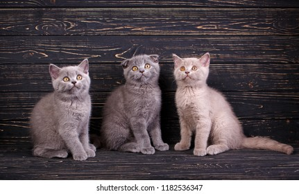 Three purebred kittens on a black background. Professional photography purebred kittens