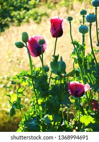 Three purple poppies and an assemblage of pods and buds dance in a garden in front of a soft focus sunlit field.