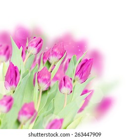 three  purple  tulip flowers   on white background