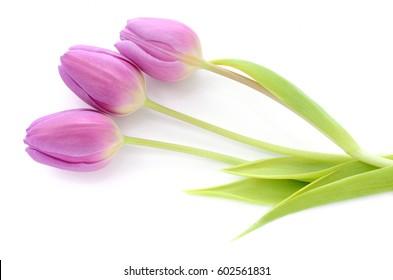 Three purple tulips isolated on white background