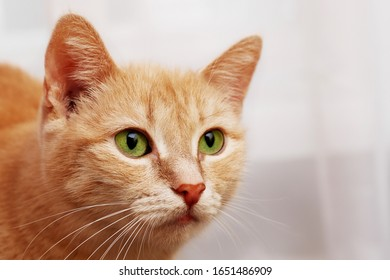 three quarter portrait of looking aside ginger cat in white background