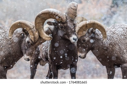Three rams with big horns in winter.