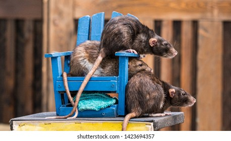 Three rats with long tails climbing on a small blue wooden chair