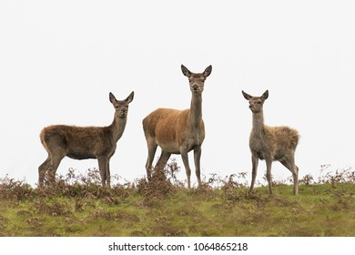 Three red deer in Exmoor