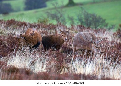 Three red deer on Exmoor