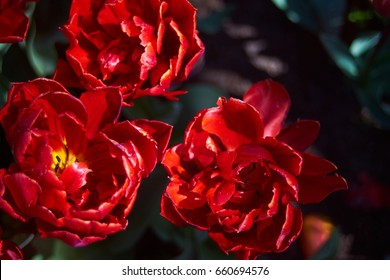 Three red filled tulips