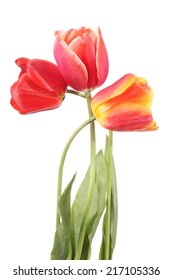 Three red flowers tulip isolated on a white background