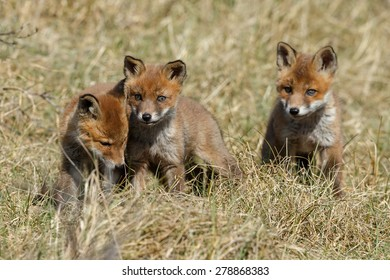 Three red fox cubs