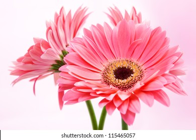 Three red Gerber flowers on pink background.