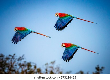 Three red and green macaws flying against blue Brazilian sky